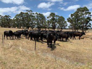 Cows In Brown Paddock